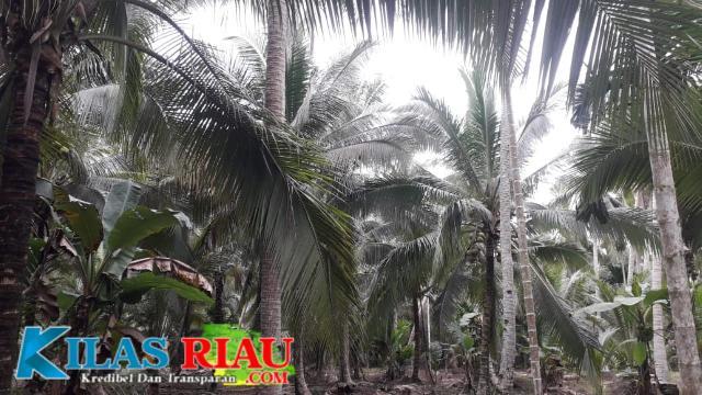 Potret Perkebunan Kelapa di Kecamatan Concong